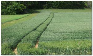 Mauroux champs de blé